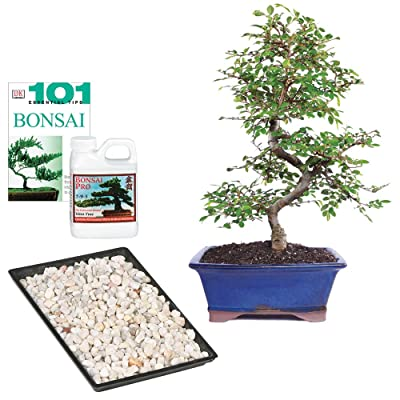 "Brussel's Bonsai Live Chinese Elm Outdoor Bonsai Tree - 8 Years Old 8"" to 10"" Tall with Decorative Container: Garden & Outdoor"