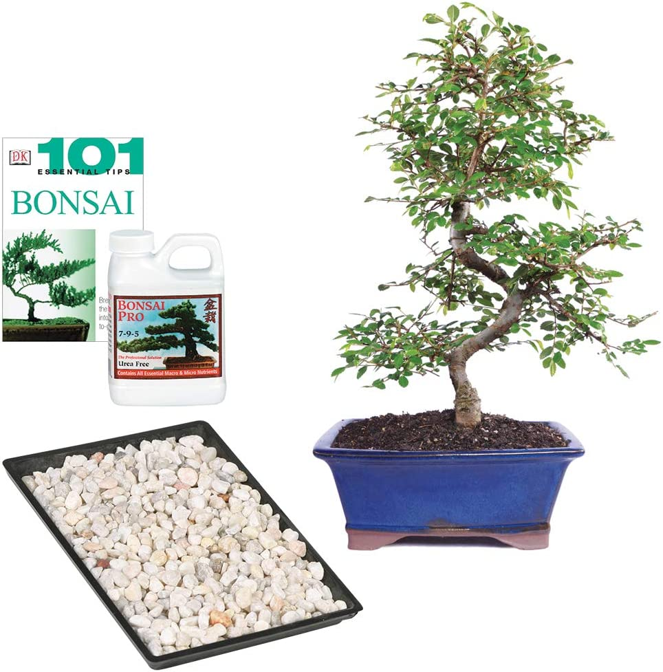 Amazon Com Brussel S Bonsai Live Chinese Elm Outdoor Bonsai Tree 8 Years Old 8 To 10 Tall With Decorative Container Garden Outdoor