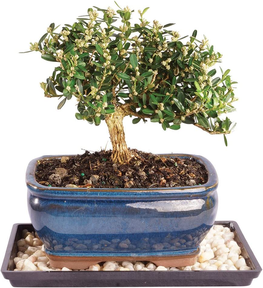 Brussel's Live Harland Boxwood Outdoor Bonsai Tree - 4 Years Old; 8