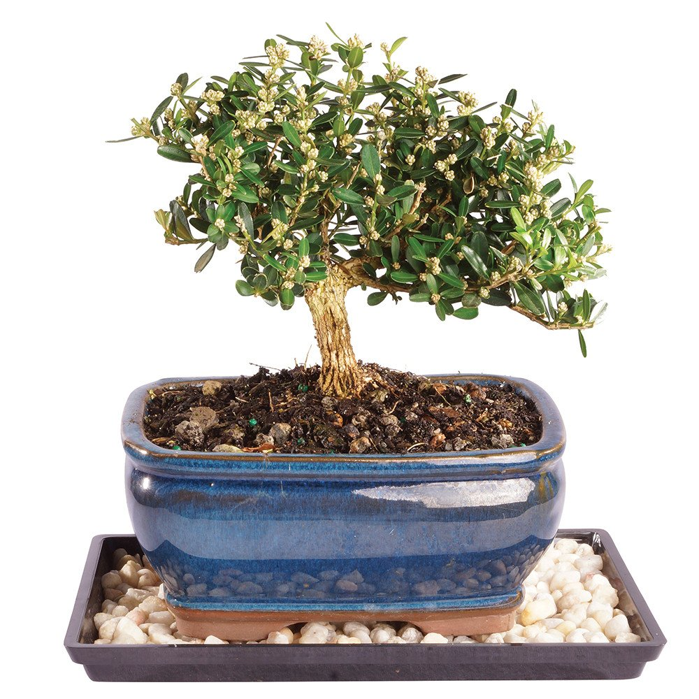 Brussel's Live Harland Boxwood Outdoor Bonsai Tree - 4 Years Old; 8'' to 10'' Tall with Decorative Container, Humidity Tray & Deco Rock