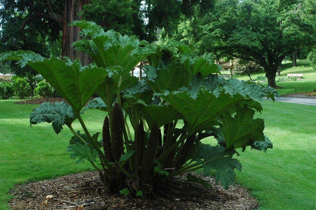 2 Plants Gunnera tinctoria - Live potted Dinosaur Food Plants- Huge 6'-8' leaves