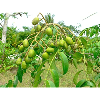 Spondias Dulcis (June Plums) Tropical Fruit Tree : Garden & Outdoor