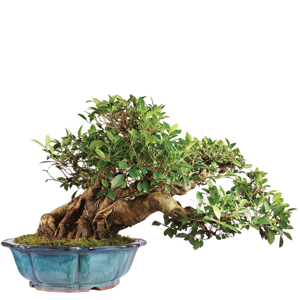 Brussel's Ficus Retusa Specimen Bonsai
