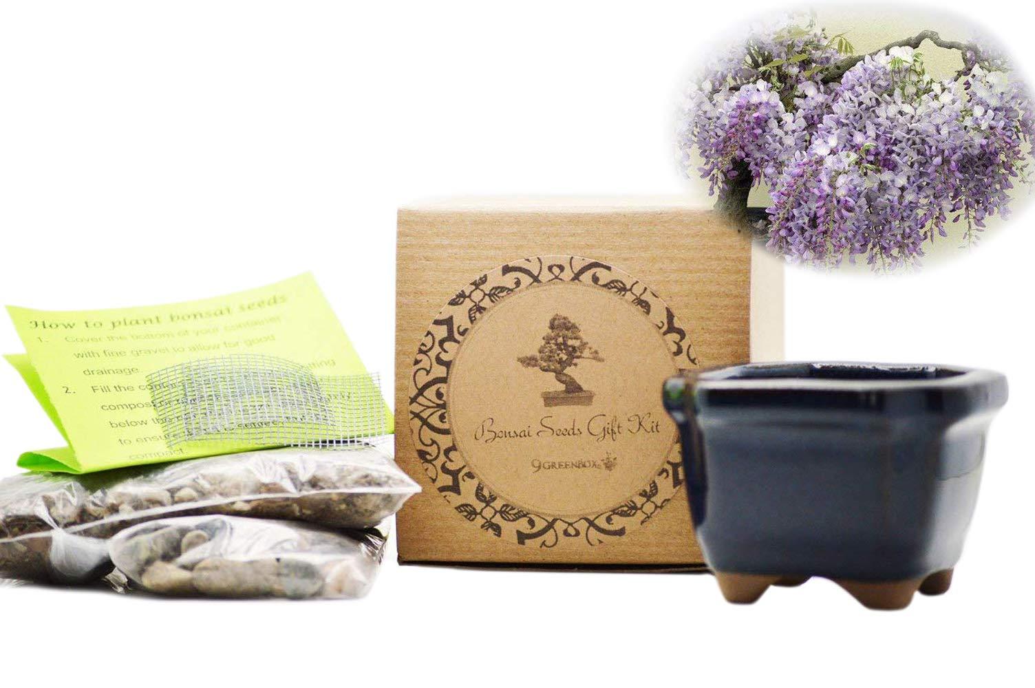 9GreenBox - Chinese Blue Wisteria Bonsai Seed Kit by 9GreenBox