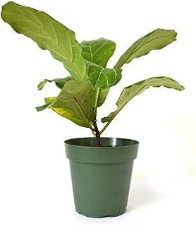 Amazon.com : Hirt\'s Fiddleleaf Fig Tree - Ficus - Great Indoor ...