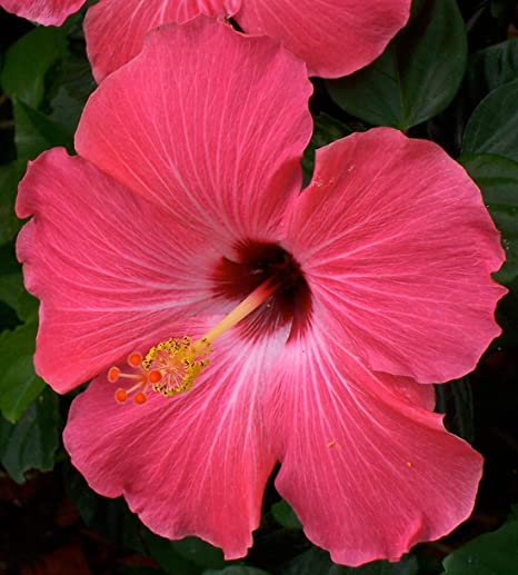 Amazoncom Diamond Perennials Tropical Hibiscus Pink Potted Plant