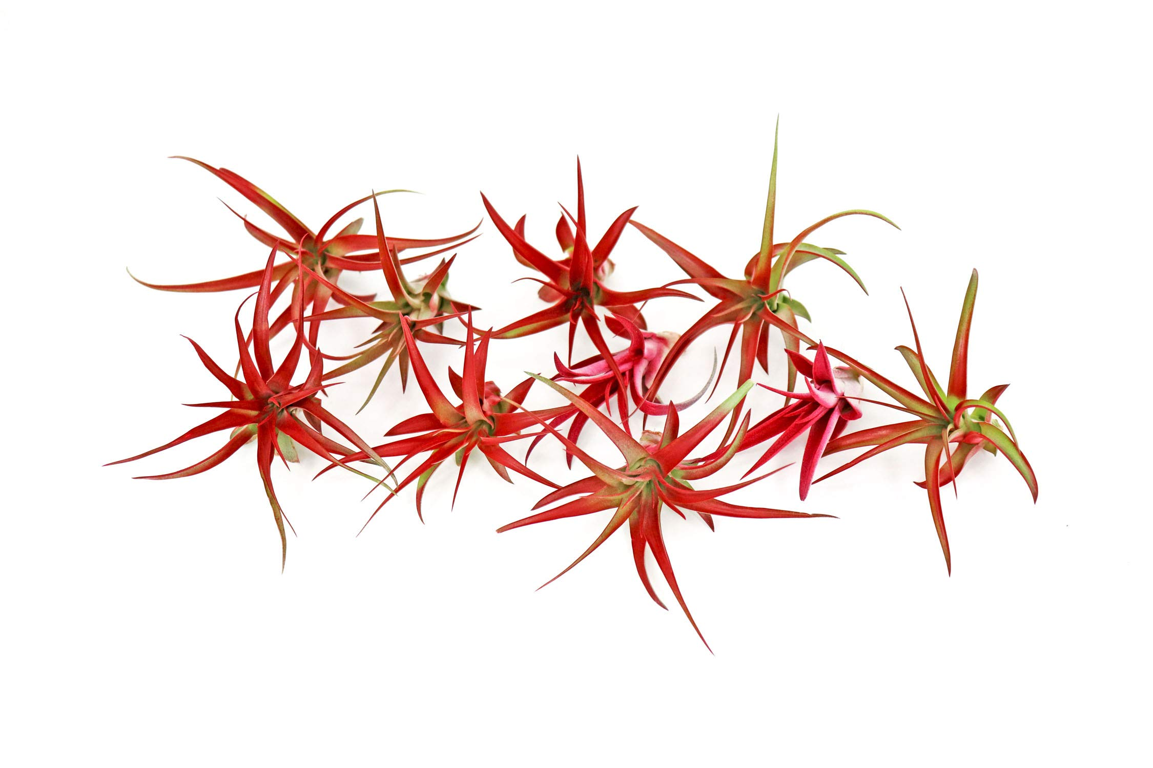 10 Live Air Plants | Bright Red Tillandsia Air Plant Pack | Colorful Indoor Plants | Real Houseplants | Easy Terrarium Decor Kit by Plants for Pets by Plants for Pets (Image #2)