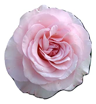 ROSE HAPPY 70TH BIRTHDAY GiftaplantTM 70th BirthdayGifts For Him Or Her SisterBrother70th Birthday Gifts Christmas Gift Shop