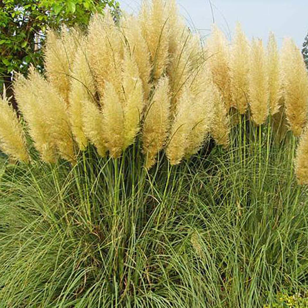 1000 Stücke Pampasgras Cortaderia Selloana Blume Seltene Garten Pflanzensamen Fl