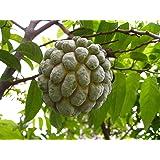 オーガニック10個の種子シュガーアップルバンレイシSquamosa + 2アテモヤの種レア果樹カスタードアップルT034