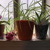 Amazon.com: Vainilla Grass – Hierochloe oderata – Sacred ...