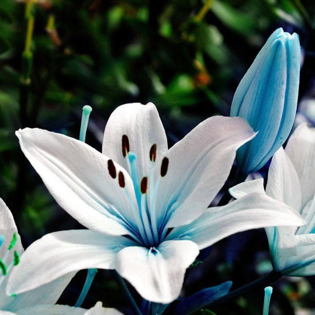 WuWxiuzhzhuo 50Pcs Bleu Rare Lily Ampoules Graines, Fleur de lis de Plantation Home Décor de Jardin bonsaï
