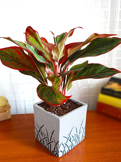 Rolling Nature Red Aglaonema Siam Aurora Chinese Evergreen Plant In