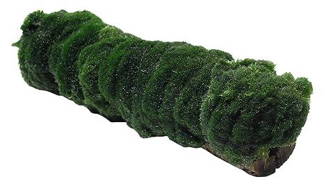 amazon com substratesource marimo log aegagropila algae on cholla