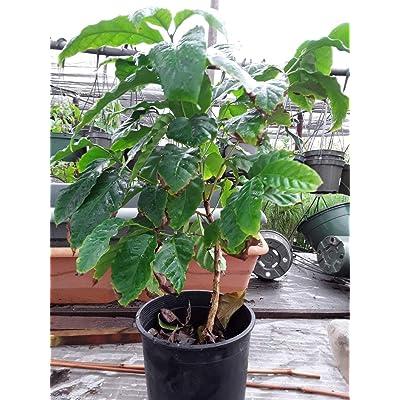 AchmadAnam - Live Plant - Arabica Coffee Plant - 1 Plants - 1 Feet Tall - Ship in 1 Gal Pot. E9 : Garden & Outdoor