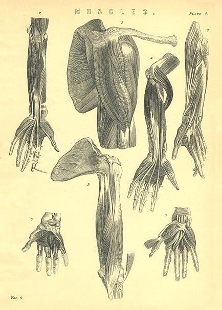Vintage de anatomía los músculos de la mano y brazo (sin nombre ...