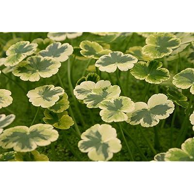 POND PLANT, PENNYWORT VARIEGATED : Garden & Outdoor