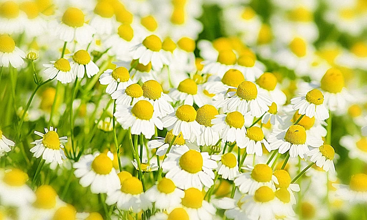 Amazon German Chamomile 101 Seeds Pretty White Flowers And