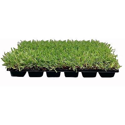 Palmetto St. Augustine Grass Plugs / Box of 72 : Garden & Outdoor