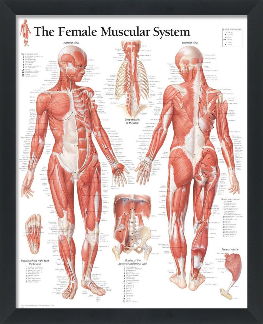Set Of 3 Framed Medical Posters The Female Muscular System The