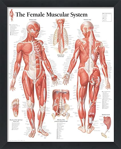 Amazon The Female Muscular System Framed Medical Educational