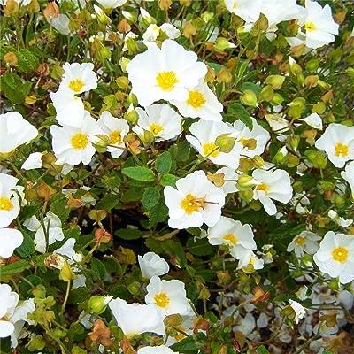 White Rockrose aka Cistus hybridus Live Plant Fit 1 Gallon Pot : Garden & Outdoor