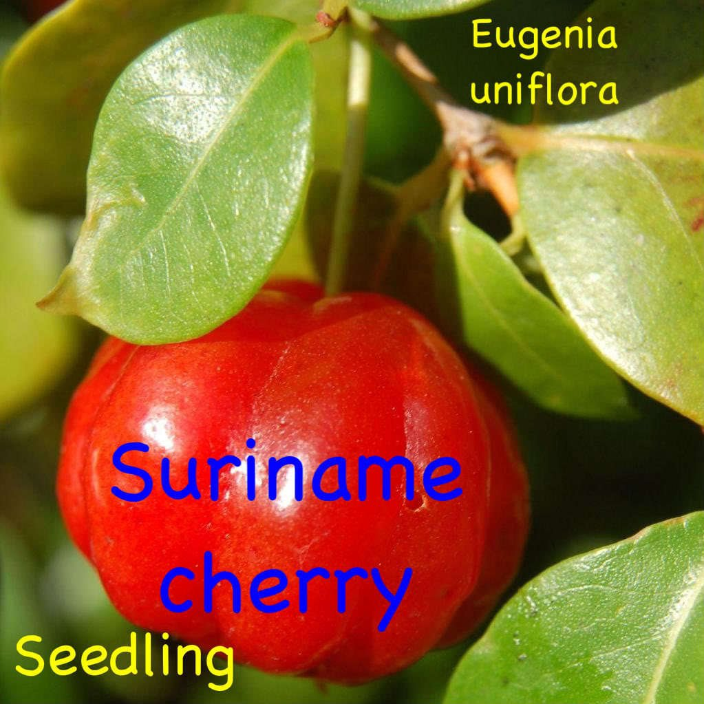 ~SURINAM CHERRY~ FRUIT TREE Eugenia uniflora