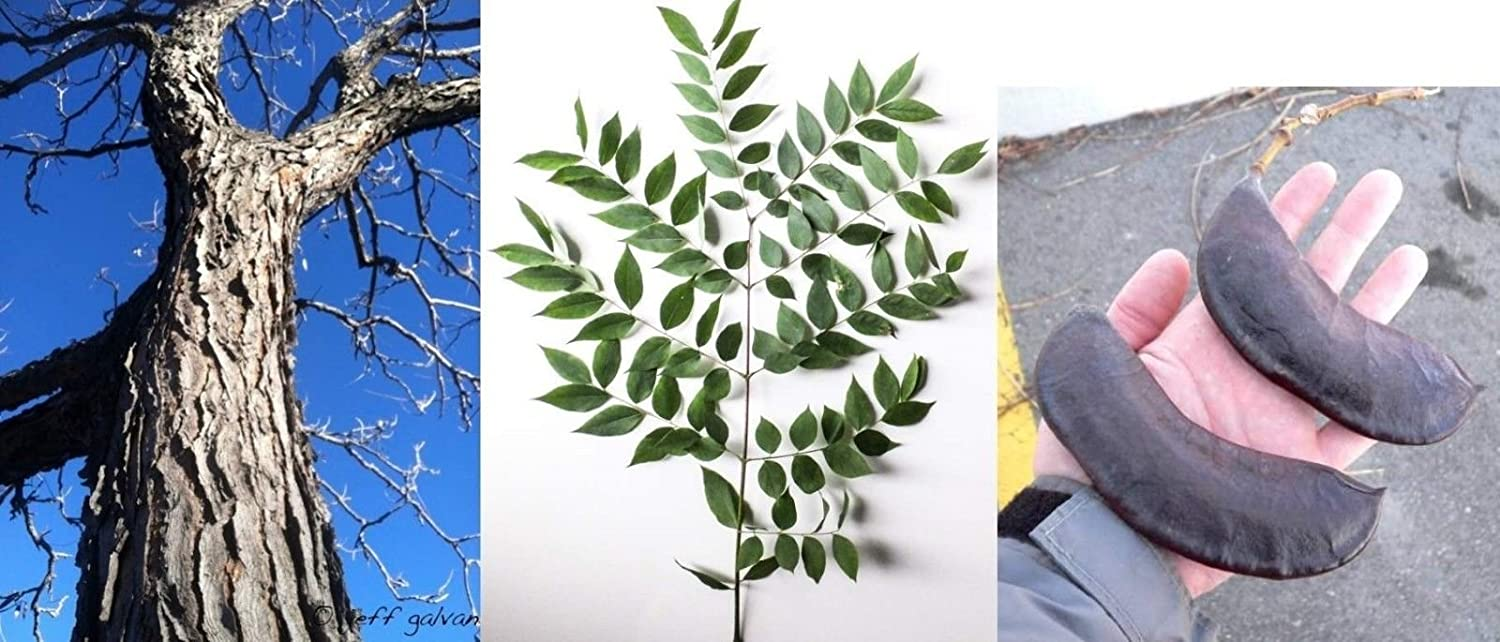 20-24 inches tall 2 year old Kentucky coffee tree Gymnocladus dioicus