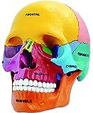 4D Vision Didactic Exploded Skull Model 1/2 4D Master