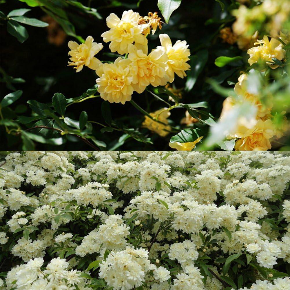 lamta1k Rosa Banksiae Semillas de Flores Bricolaje Jardín de casa Calidad de la Planta y Alta tasa de Supervivencia Bonsai en Maceta Decoraciones - Semillas de Rosa Banksiae