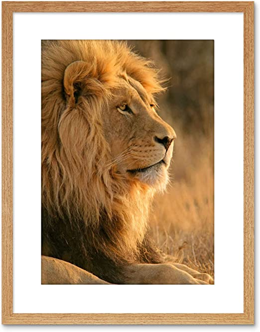 Lion Running in Africa Close Up Photo Wall Picture 8x10 Art Print
