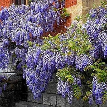 Easy Grow 10 Wisteria Vine Seed For Plants