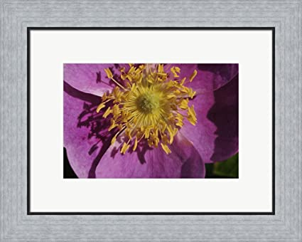 Amazon purple flower with yellow stamen by gordon semmens purple flower with yellow stamen by gordon semmens framed art print wall picture flat silver mightylinksfo
