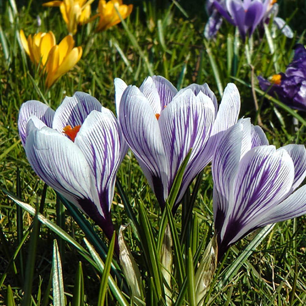 20 Crocus Bulbs Large Flowered White Purple Striped Spring Flowering Bulbs