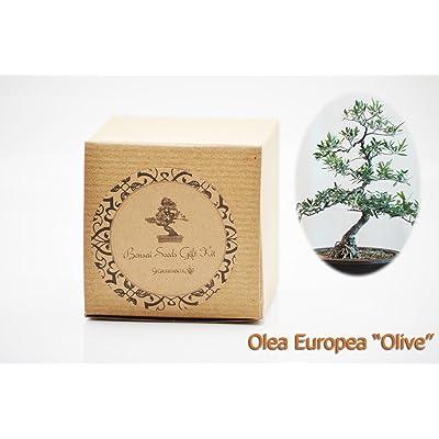 "Set of 2 Olea Europea""Olive"" Bonsai Seed Kit- Gift - Complete Kit : Grocery & Gourmet Food"