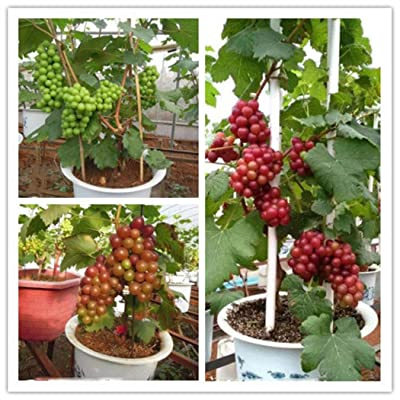 LEANO Garden - 50PCS Grape Seeds for Planting - Dwarf Home Planting Fruit Tree - Easy to Grow Sweet Fruits : Garden & Outdoor [5Bkhe0801223]