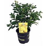 "Sweet Sambo Lemon Tree -Fruiting Size- 8"" Pot -NO SHIP TO TX, FL, AZ, CA, LA, HI"