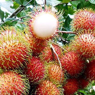 wpOP59NE 5Pcs Nephelium Lappaceum Seeds Delicious Rambutan Fruit Home Garden Yard Plant - Nephelium Lappaceum Seeds Plant Seeds : Garden & Outdoor