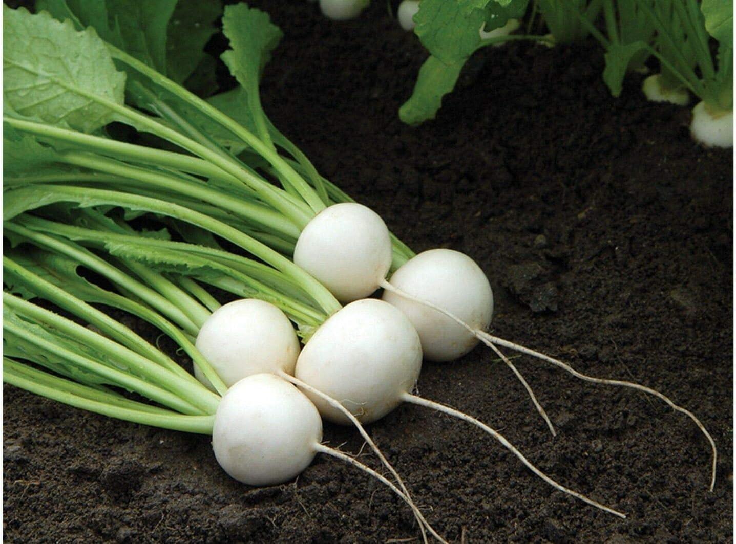 F1 Turnip 250-5000 seeds HEIRLOOM NON-GMO 500 seeds Hakurei