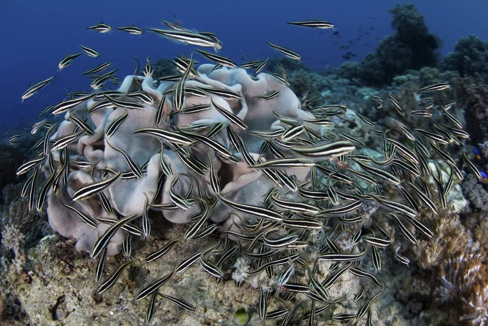 A school of striped eel catfish swarms over a reef searching for food Poster Print by Ethan DanielsStocktrek Images (34 x 22)
