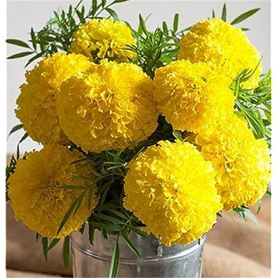Hybrid Marigold Golden Yellow Giant Flower 100 Seeds : Garden & Outdoor