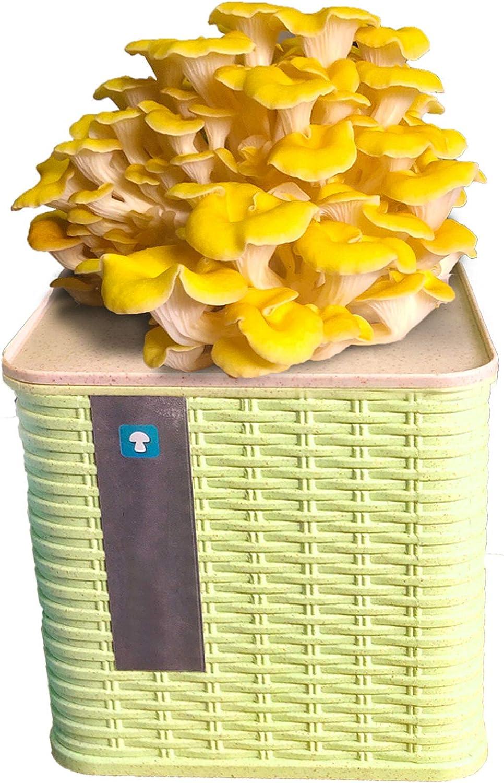 Au Salon Pleurote Peu Encombran /à La Cuisine Enoki Mushroom Simple Et Durable /à La Famille /à L/éCole DLMSDG Champignon Etc. Adapt/é /à La Maternelle Champignons Frais Et Bio Toute LAnn/éE
