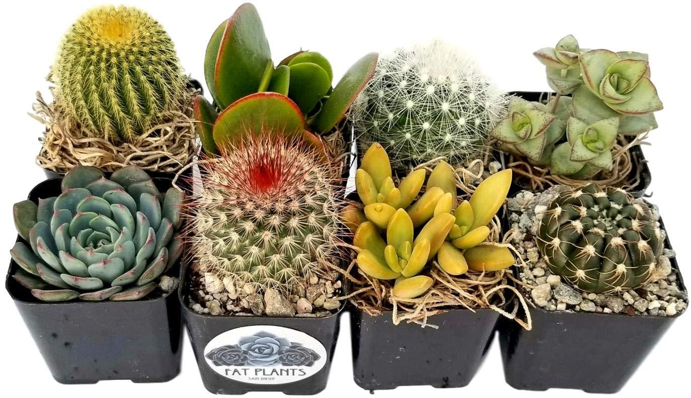 Fat Plants San Diego Miniature Flowering Cactus and Succulent Plant Collection (8)