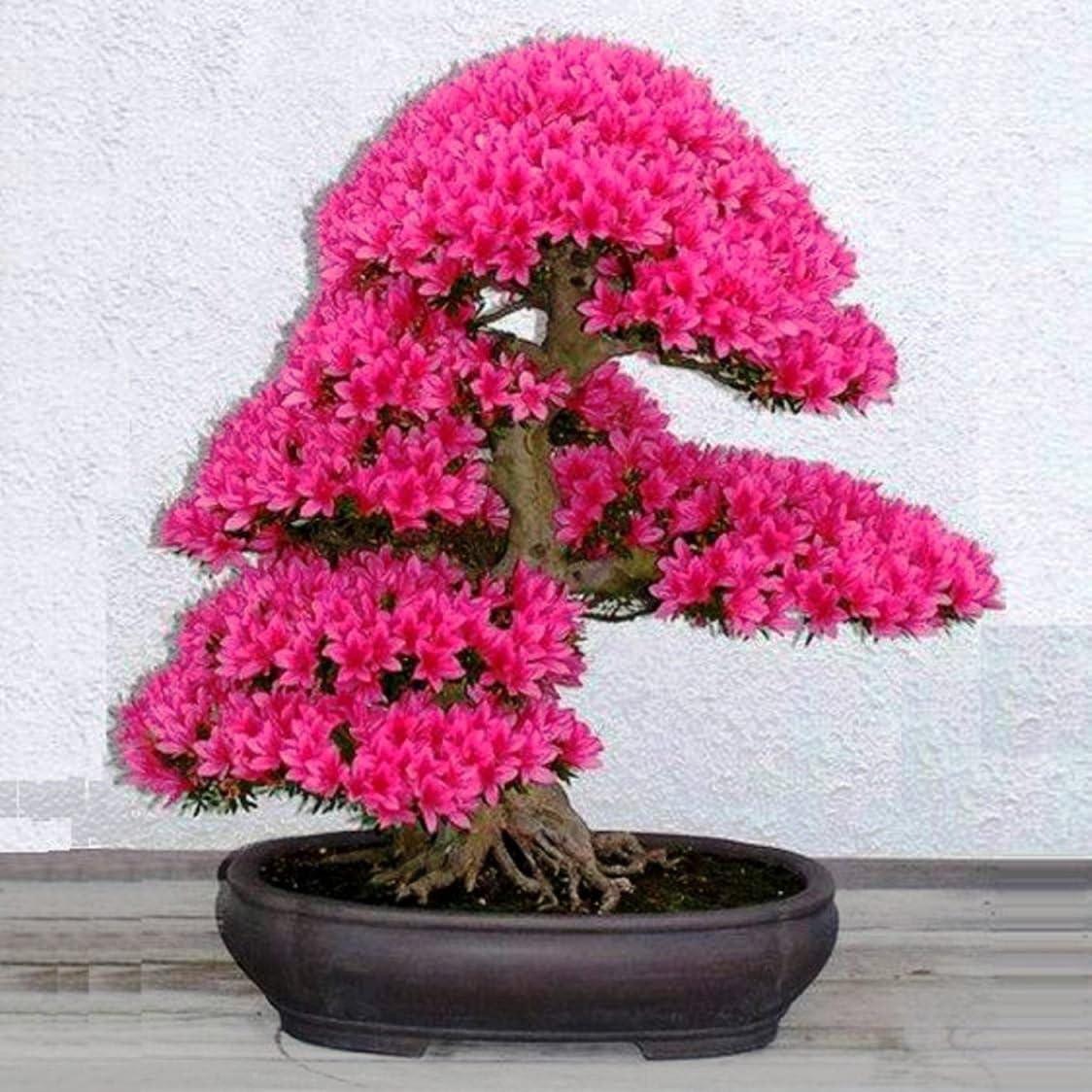 Bonsai Flower Seeds Cherry Blossoms Bonsai Tree Japanese Sakura Seeds 10pcs