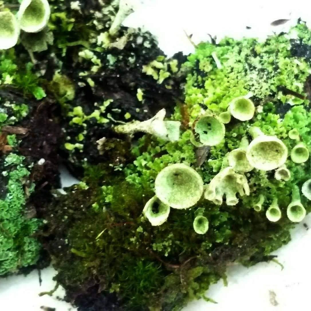 "Tin Roof Treasure Live Moss Pixie Cup (Cladonia Pyxidata) Lichen for Terrarium Fairy Gardens 4""x6"" Bag"
