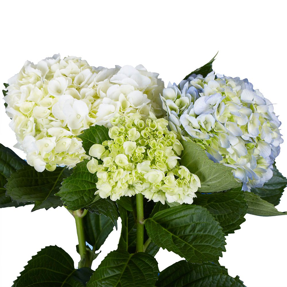 GlobalRose 20 Fresh Cut Assorted Colors Hydrangeas - Fresh Flowers For Weddings or Anniversary. by GlobalRose (Image #3)