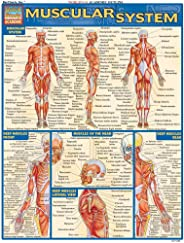 Muscular System (Quick Study Academic)