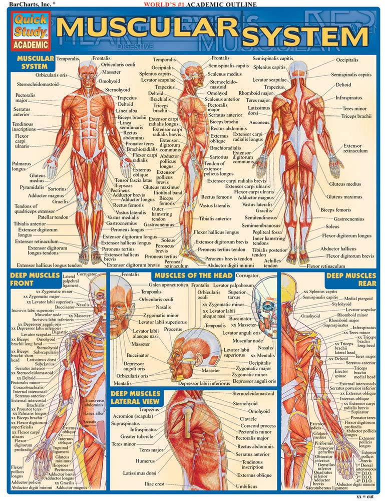 Muscular System Quick Study Academic Inc Barcharts