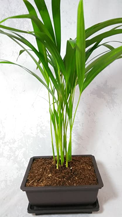 Amazon Com Areca Palm Plant Dypsis Lutescens 5 L Bonsai Pot Easy To Grow Unique From Jmbamboo Garden Outdoor