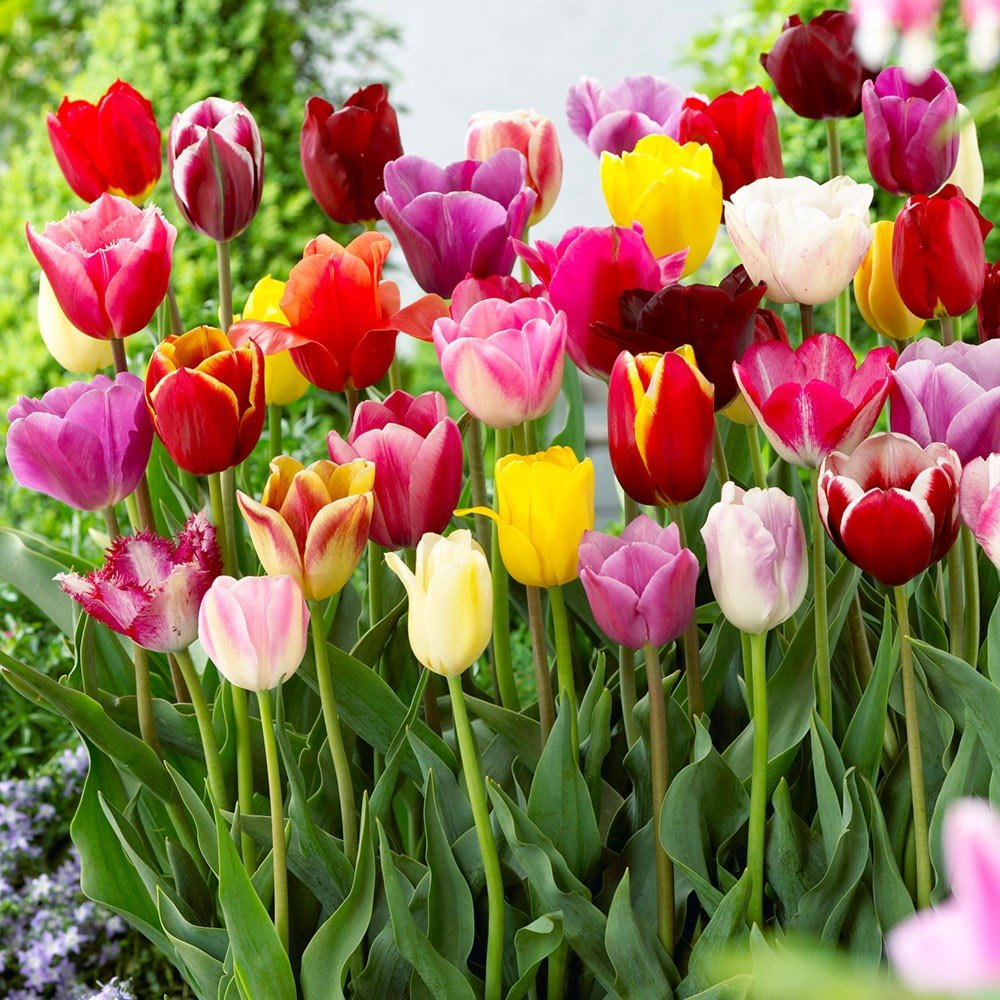 Tulip Bulbs Darwin Mixed Colors - 25 Bulbs